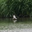 魚を狙う、クロハラアジサシの成鳥。