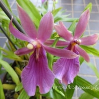 丈夫なミルトニア2種 Milt.spectabilis  moreliana  Milt.Anne Warne