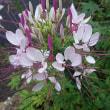 花が少なる頃のクレオメ