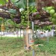 ブドウスカシクロハの猛攻にピオーネが成熟しなかった😰