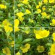 メカルドニアの花は