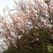 春が来ました。