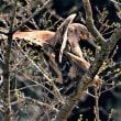 今日の野鳥   サシバの交尾 ・   写真展終了のご案内