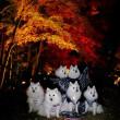 まっ白ふわもこニホンスピッツのオフ会 ライトアップ編 (NO2)(森林公園こうよう見ナイト編)