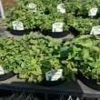 ハーブ苗、生産品種の紹介 オレガノ