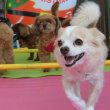 新入犬のカニンヘンワイヤーダックスフンドの【くくるちゃん】  犬のしつけ教室@アロハドギー