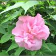 酔芙蓉の花