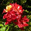 ラグーナのバラ園