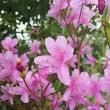 山寺を彩る石楠花
