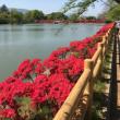 春爛漫の京都 ~ 長岡天満宮のキリシマツツジ