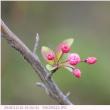 ハナカイドウ 〈花海棠〉 季節外れの開花