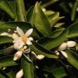 柑橘系の白い花が綺麗です。何の花でしょうね。 (Photo No.14311)