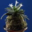 富貴蘭「松の誉」の花