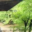 緑の大イチョウとモミジ・サクラも (18-522)