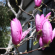 「おはようの花」 シモクレン(紫木蓮) 3月