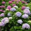 紫陽花❤️