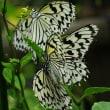 多摩動物公園 昆虫生態園のオオゴマダラ