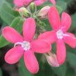 マヨールピンクの花は