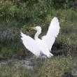 今日の鳥 アマサギ 冬羽の換羽か幼鳥か判断付かず?