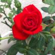 ミニ薔薇が素敵