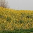利根川堤防の菜の花は最盛期だった。