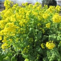春を呼ぶ菜の花