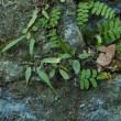 クモノスシダ 矢作の石灰岩壁