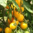 信濃町の夏野菜が旬です!