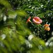 ノウゼンカズラが咲いてます