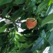 庭の桃の木、レモンの木…♪