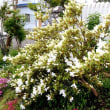 樹木ウォッチング冬から夏へ373リュウキュウツツジ