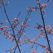 城ケ崎海岸駅の早咲の桜も咲いています