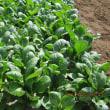 カルチャーマットで栽培した小松菜