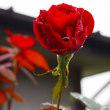 秋雨にぬれるリルケの薔薇
