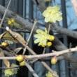 マンゲツロウバイ 満月蝋梅