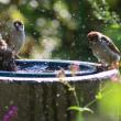 雀の水遊び②