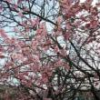 近所の梅花