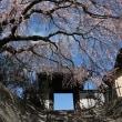 長栄寺 の 枝垂れ桜