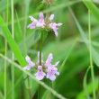 田んぼの溝に咲いていた小さな花は、イヌゴマだそうだ。