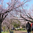 彼岸桜が満開