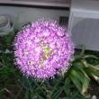 アリウム開花