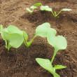 大根の種蒔きと土寄せをしました。