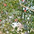 「カムフラージュ」 いわき フラワーセンターにて撮影! 椿にメジロ