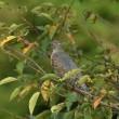 カッコウの幼鳥
