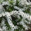 ミニバラが咲きました