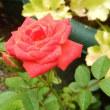 真夏のバラ(各種)