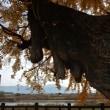 ◎ 直方市植木の「花ノ木堰」の大イチョウの黄葉