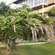 季節外れの藤の花