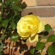 秋バラが毎日ポツンポツンと、~シックな色合い、もの問いたげな風情