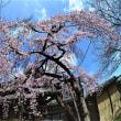 氷室神社  2018年3月23日  桜が咲いた